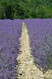 Lavenda w Provence Fotografia Stock