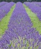 lavendar的域 库存照片