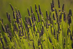 Lavendar Royalty Free Stock Image