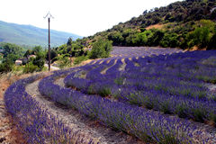 Lavendar. Fields of lavendar in south of france Royalty Free Stock Image