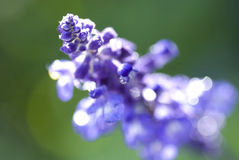 Lavendar Photos stock