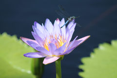 Lavendar Asiatic Lily. Lavender Asiatic water Lily with dragonfly on lily pads blooming in a pond royalty free stock photos