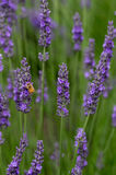 Lavendar Blumen mit Biene Stockbild