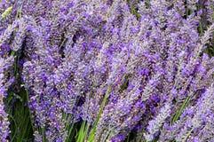 Lavendar Blumen und Stämme in den Bündeln Lizenzfreies Stockfoto