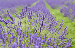 Lavendar close-up Royalty Free Stock Photography