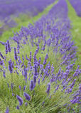 Lavendar close-up portrait Royalty Free Stock Images