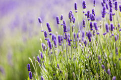 Lavendar closeup Royalty Free Stock Photography