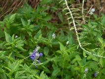 Lavendar colored bluebonnet among lush green vegetation royalty free stock photo
