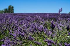 Lavendar farm in Sequim, Washington Stock Photography