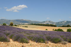 Lavendar Fields Royalty Free Stock Photo