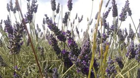 Lavendar fields Stock Photography