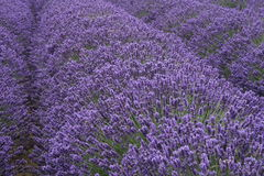 Lavendar Fields Royalty Free Stock Image