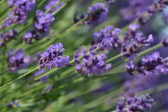 Lavendar Royalty Free Stock Photo