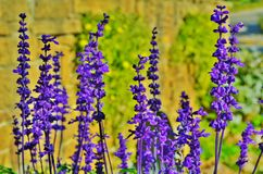 Lavendar flowers in a meadow. Royalty Free Stock Photos