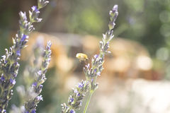 Lavendar herb bush honey flying insect sucking nectar Stock Photography