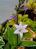 Lavendar Hosta Blossoms Fotografía de archivo