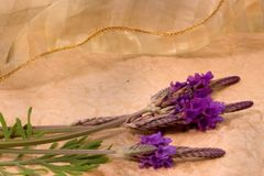 Lavendar and Lace. English lavendar against old paper and ribbon background Royalty Free Stock Images