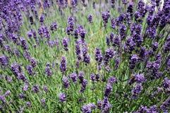 Lavendar plant background. Stock Photography