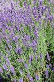 Lavendar plant background. Stock Images