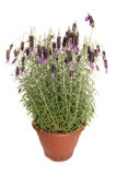 Lavendar plant pot Stock Photos