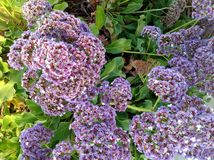 Lavendar Wildflowers Στοκ εικόνα με δικαίωμα ελεύθερης χρήσης