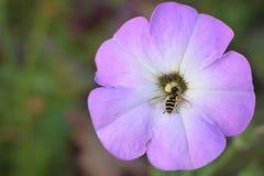 Lavendar y flor blanca con la abeja en el centro Fotos de archivo libres de regalías