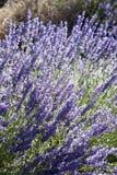 Lavende Royalty Free Stock Image