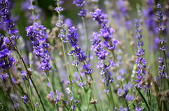 Lavende de florescência Fotos de Stock Royalty Free