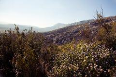 Lavende som växer upp i bergen sydliga Frankrike Arkivbilder