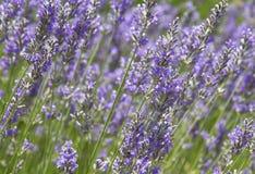 Lavendeläng Royaltyfria Foton