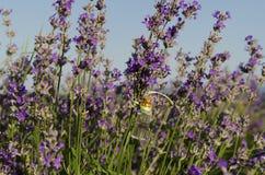 Lavendelöl in einem Stamm auf dem Gebiet Stockbild