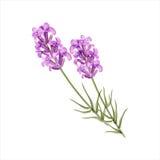 Lavendel Örtblomma också vektor för coreldrawillustration royaltyfri illustrationer