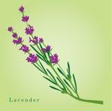 Lavendel stock abbildung