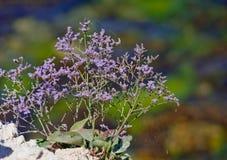Lavendel Lizenzfreies Stockfoto