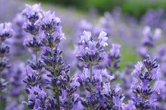 Lavendel Stock Foto's
