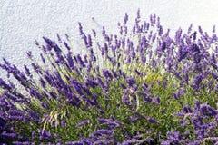 Lavendel stock afbeeldingen