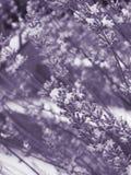 Lavendel Stockfoto