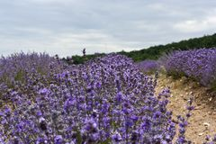 Lavendel Stockbild