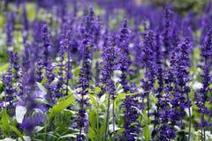 Lavendel Royalty-vrije Stock Fotografie
