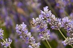 Lavendel Arkivfoto