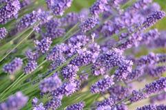 Lavendel arkivfoton