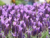 Lavendel stockfotos