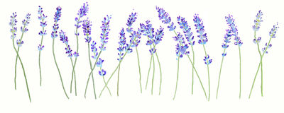 Lavendel vektor illustrationer