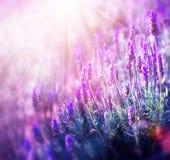 Lavendel royaltyfri bild