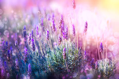Lavendel Arkivbild