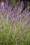 Lavendel Stockbilder
