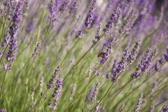 Lavendel Lizenzfreie Stockfotos