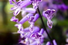 Lavendel stockfotografie
