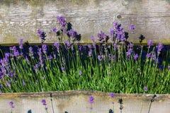Lavendel royalty-vrije stock afbeeldingen