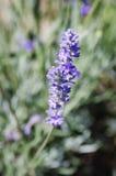 Lavendel Royaltyfri Fotografi